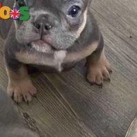 Lovely French Bulldog Pups Available