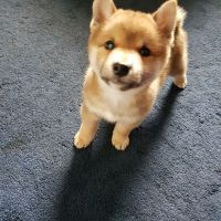 Registered Shiba puppies