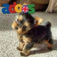 Gorgeous litter of purebred yorkshier puppies