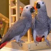 African Grey Parrots for sale now