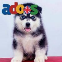 Siberian Husky Available for adoption