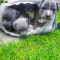 Stunning Litter of Kc-Reg Blue Staffy Puppies