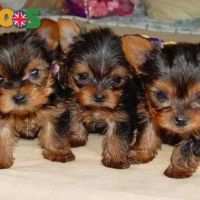 Cute And Adorable Teacup Yorkie Puppies For Free Adoption