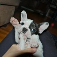 Healthy french bulldog Puppies available