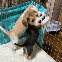Beagle puppies for sale ( Male and female )