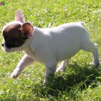 Adorable French bulldog puppy for re-homing