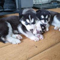 Blue eye siberians husky puppies for rehoming