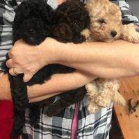 Potty Trained Male and female Toy Poodle Puppies