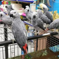 Too Tame African Grey Parrots