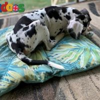Healthy Great Dane Puppies Ready Now