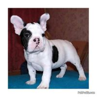 adopt a male and a female French Bulldog puppies