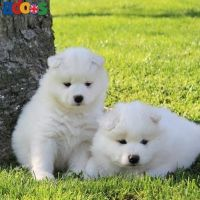 Nice Samoyed Puppies for sale.