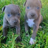 alert Staffordshire Terrier Puppies For Sale.