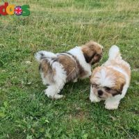 Stunnig Shih tzu Puppies Available