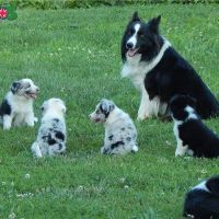 Border Collie puppies available for sell