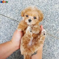Beautiful Maltipoo puppies for adoption with Health checks and papers
