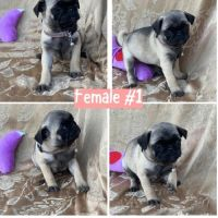 We currently have an adorable and healthy litter of 8 Pug puppies