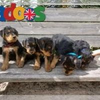 kc Registered Airedale Terrier Puppies