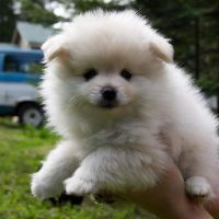 Teacup Pomeranian puppies m and f