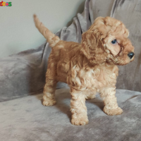Cockapoo puppy for new home