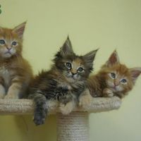 chunky pure breed Maine Coon kittens