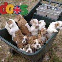 Adorable english bull dog puppies for sale