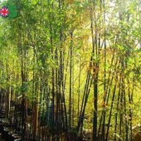 Bamboo and grasses nursery UK- Greenhills Nursery