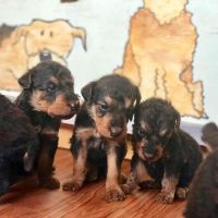 Beautiful Airedale Puppies!